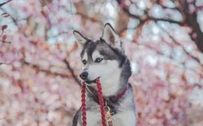 Картинка морда, собака, размытость, поводок, Хаски
