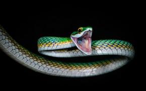 Картинка природа, змея, кольца, пасть, рептилия, хладнокровное животное