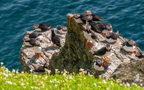 Картинка море, цветы, птицы, скалы, побережье, тупик, много, боке, стая птиц, атлантический тупик, тупики, тусовка