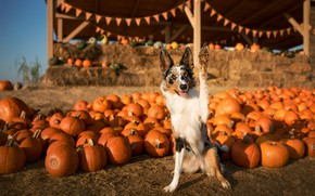 Картинка осень, взгляд, свет, поза, лапа, собака, урожай, тыквы, флажки, бордер-колли, ярмарка