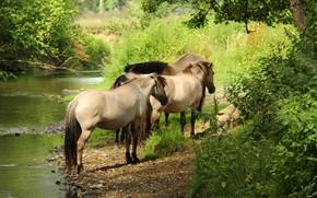Картинка природа, кони, лошади
