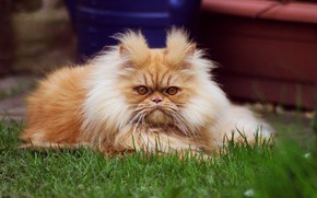 Картинка кошка, трава, кот, взгляд, морда, природа, поза, отдых, портрет, пушистый, сад, рыжий, перс, прическа, двор, …