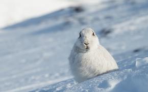Картинка зима, взгляд, морда, снег, заяц, портрет, склон, сугробы, сидит, зайчик