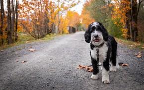 Картинка дорога, осень, листья, собака