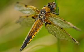 Картинка макро, крупный план, природа, зеленый, фон, размытие, стрекоза, стебель, насекомое, крылышки