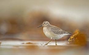 Обои птица, клюв, исландский песочник