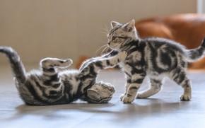 Картинка комната, игра, котята, парочка, полосатые, два котенка, резвятся, шотландские