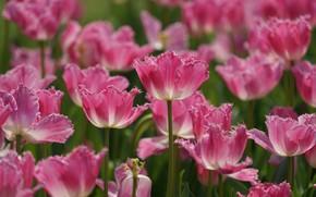 Картинка тюльпаны, розовые, много