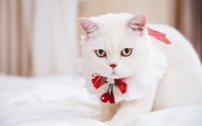 Картинка кошка, кот, взгляд, фон, портрет, мордочка, постель, белая, украшение, красотка, бантик, боке, британская, манишка