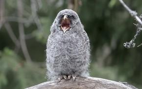 Картинка природа, фон, птица, Great Grey Owl kid
