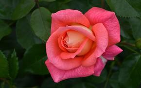Картинка листья, розовая, роза, лепестки, бутон