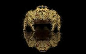 Картинка взгляд, макро, отражение, паук, черный фон, джампер, паучок, прыгунчик, прыгающий