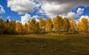 Картинка поле, лес, облака, деревья, пейзаж, природа, синева, дерево, поляна, листва, желтые, березы, роща, желтая, кроны, ...