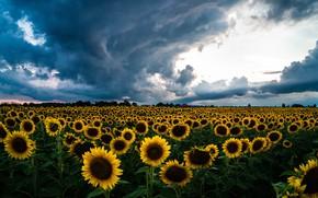 Картинка поле, лето, облака, свет, подсолнухи, цветы, тучи, природа, пасмурно, теплица, желтые, много, подсолнечник, плантация, грозовые, …