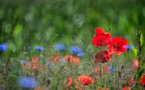 Картинка цветы, синие, красные, былинки, боке, луг, маки, лето, васильки