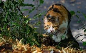 Картинка осень, кошка, взгляд, морда, листья, свет, природа, поза, камень, боке, пятнистая, пестрая