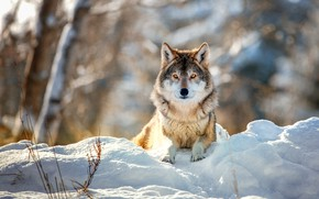 Картинка зима, снег, природа, фон, волк, лежит