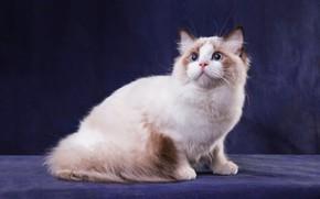Картинка кошка, белый, кот, взгляд, поза, темный фон, котенок, лапы, пушистый, мордочка, окрас, котёнок, голубые глаза, …