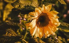 Картинка цветок, листья, свет, подсолнух, подсолнечник