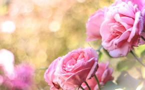 Картинка розовый, розы, боке