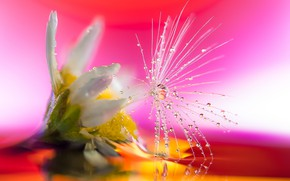 Картинка цветок, капли, макро, одуванчик