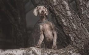 Обои взгляд, морда, природа, поза, темный фон, серый, дерево, собака, ветка, лапы, цепь, щенок, ствол, серая, ...