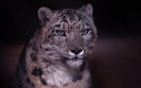 Картинка морда, фон, Снежный барс, дикая кошка, Ирбис, Снежный леопард