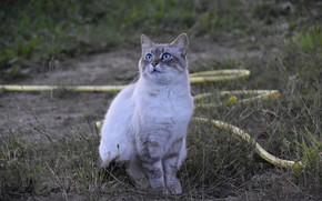 Картинка кошка, трава, глаза, голубые