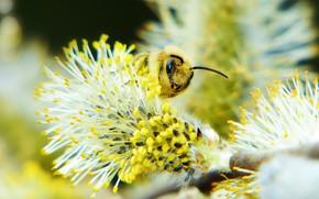 Картинка макро, пчела, фон, пыльца, размытие, весна, насекомое, почки, верба
