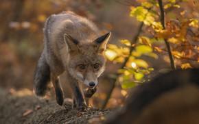 Картинка осень, природа, животное, лиса, бревно, лисица