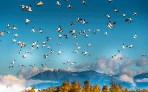 Картинка осень, небо, облака, деревья, полет, горы, птицы, синева, вершины, высота, стая, белые, много, летят, голубое ...