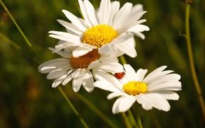 Картинка цветы, божья коровка, ромашки, белые, боке, нивяник