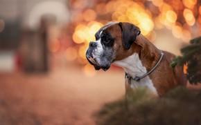 Картинка собака, портрет, морда, профиль, Боксёр, блики