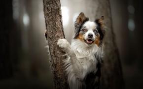 Картинка взгляд, дерево, собака, лапы, боке, Бордер-колли