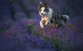 Картинка язык, взгляд, цветы, природа, поза, собака, бег, щенок, прогулка, лаванда, сиреневые, бордер-колли, лавандовое поле, пестрая