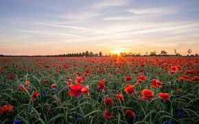 Обои поле, небо, солнце, облака, лучи, пейзаж, закат, цветы, природа, настроение, мак, рожь, маки, красота, вечер, ...