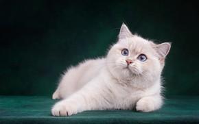 Картинка кошка, белый, кот, взгляд, морда, поза, темный фон, котенок, лапы, малыш, мордочка, милый, лежит, котёнок, …