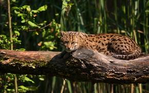 Картинка трава, кот, взгляд, свет, поза, лежит, бревно, дикий кот, рыболов, кот-рыболов
