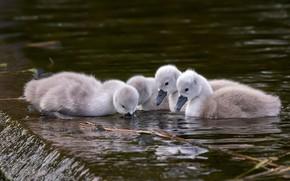 Картинка птицы, малыши, лебеди, птенцы, водоем, плавание, квартет, четыре, выводок, лебедята, лебеденок, лебедёнок