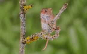Картинка веточка, фон, мышь
