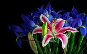 Картинка цветы, розовая, яркие, лилии, лилия, букет, черный фон, бутоны, ирисы, синие, композиция