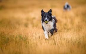 Картинка поле, собаки, взгляд, морда, природа, фон, игра, мяч, собака, бег, прогулка, мячик, бордер-колли