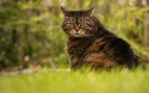 Картинка кошка, лето, трава, кот, морда, поза, зеленый, серый, фон, сидит, полосатый