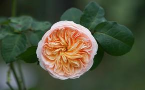 Картинка листья, роза, бутон