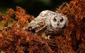 Картинка взгляд, ветки, поза, сова, птица, хвоя, филин