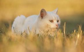 Картинка кошка, белый, трава, кот, взгляд, морда, свет, желтый, природа, поза, фон, портрет, лежит, белая, желтые …