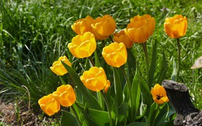 Картинка цветы, весна, желтые, сад, тюльпаны