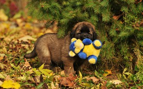 Картинка осень, листья, ветки, природа, игрушка, собака, щенок, хвоя, леонбергер