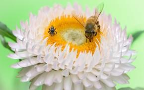 Картинка цветок, насекомые, пчёлы, Fleur Walton