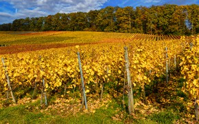 Картинка Германия, Baden-Wuerttemberg, кусты, осень, лоза